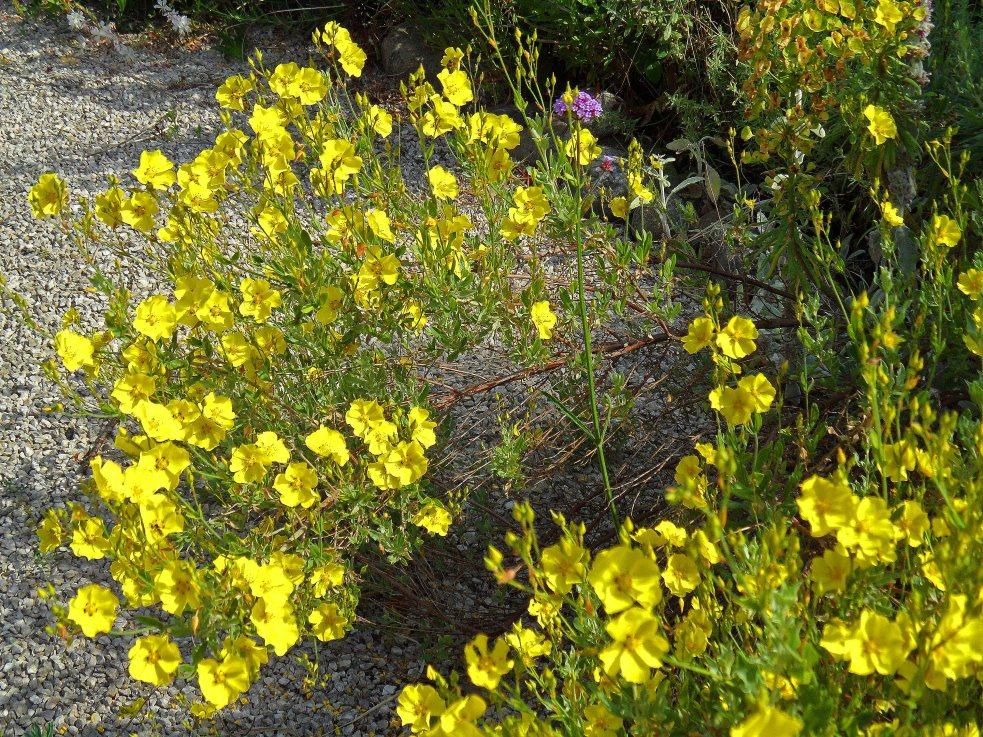 Cistus atriplicifolius, New Garden, Tostat, June 2015