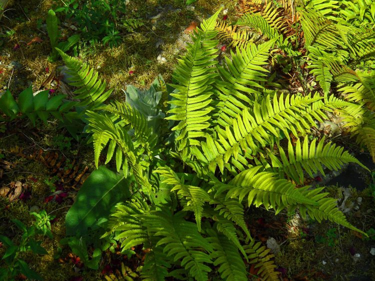 Dryopteris attrata with self seeded verbascum muscling in, New Garden, Tostat, June 2015