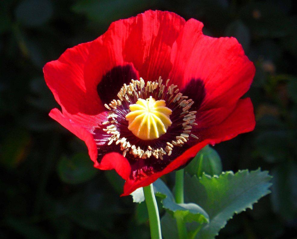 Opium poppy self-seeded, Tostat, June 2015