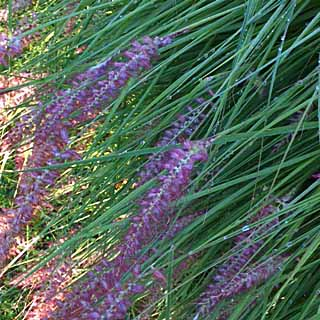 Unknown pink Pennisetum, Tostat, June 2015