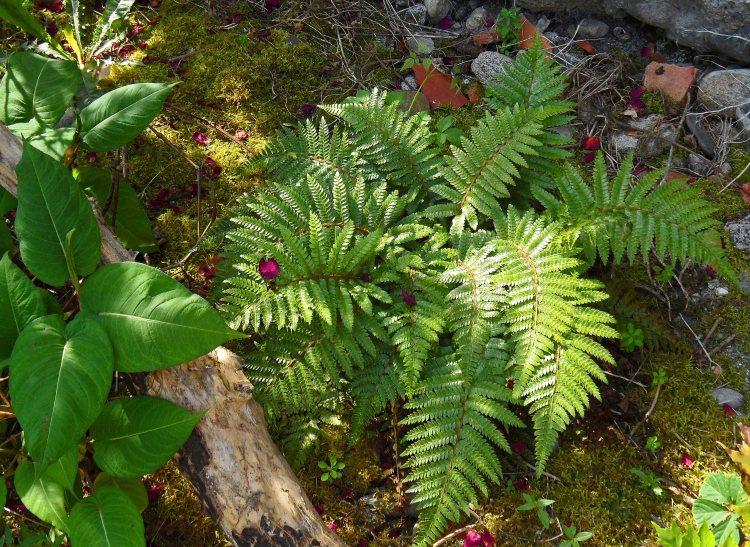 Polystichum polyblepharum, New Garden, Tostat, June 2015