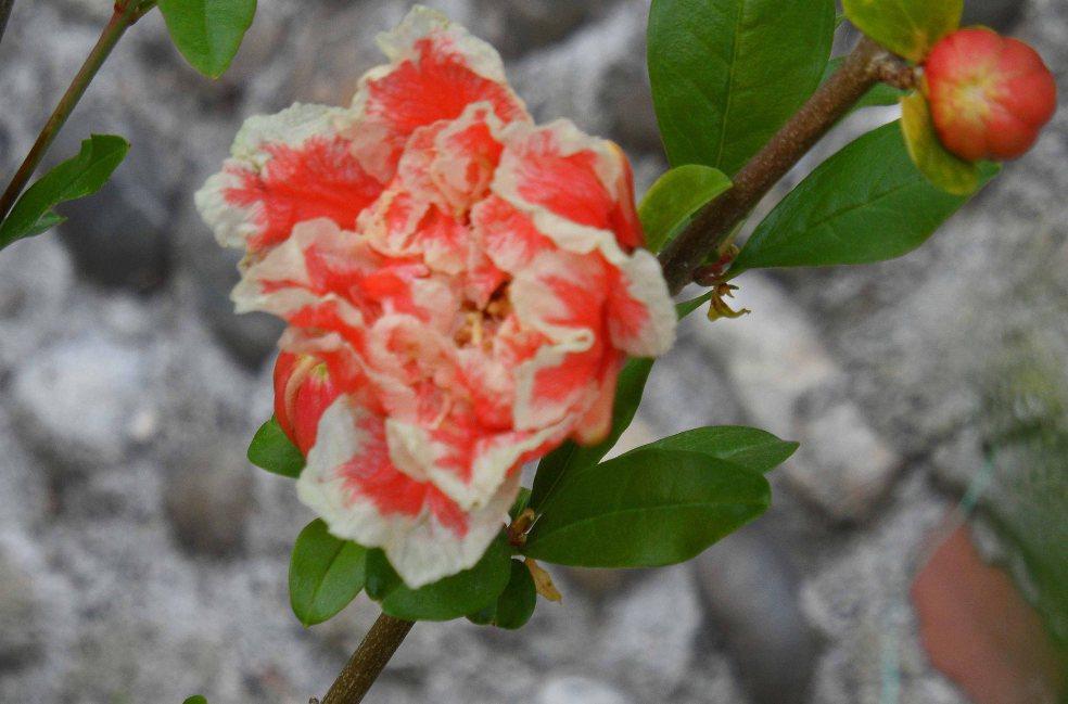 Punica granatum 'Legrelliae' New Garden, Tostat, June 2015