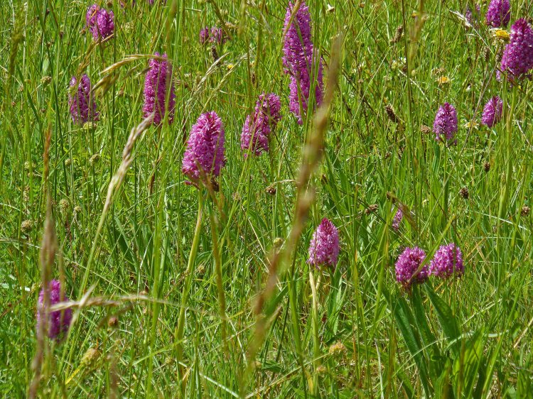 An abundance of pyramidal orchids, Pouylebon 65, May 2015
