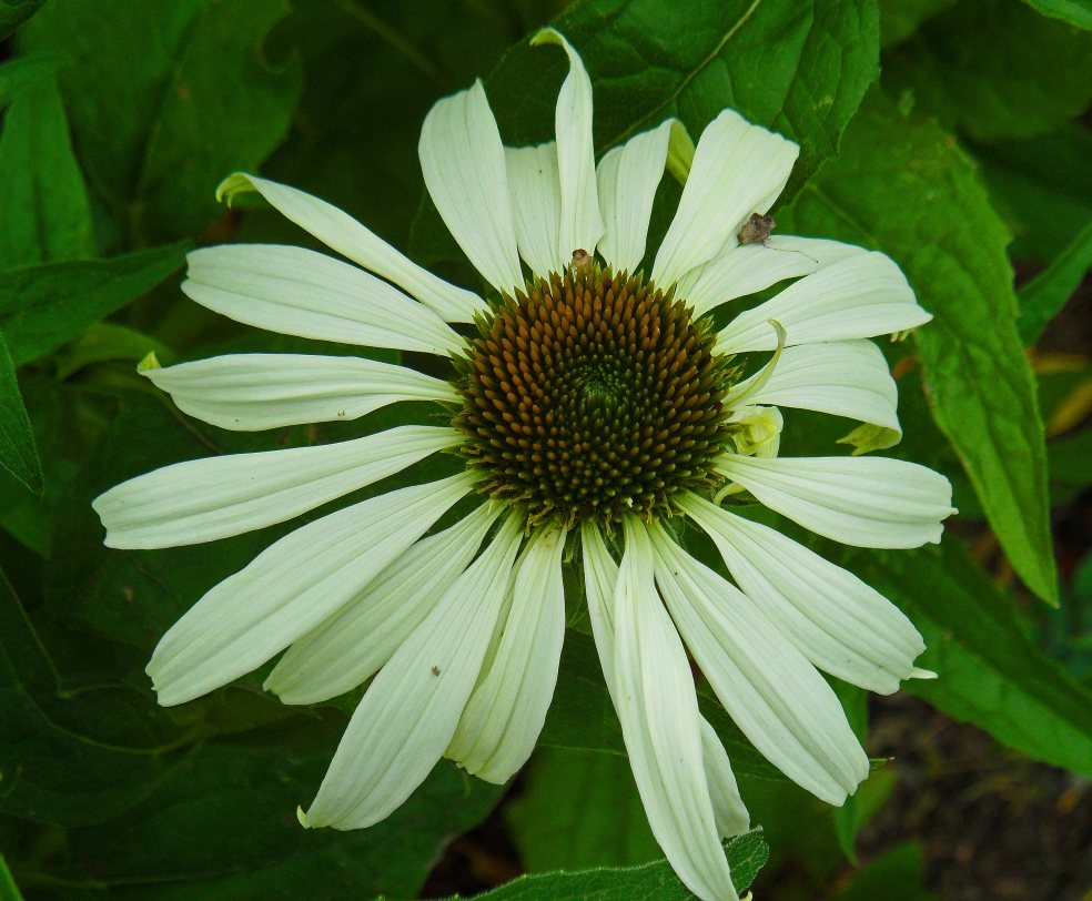 Reflexed Echinacea 'White Swan', Tostat, June 2015