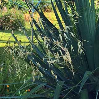 Stipa gigantea against the Phormium, and the washing line!, Tostat, June 2015