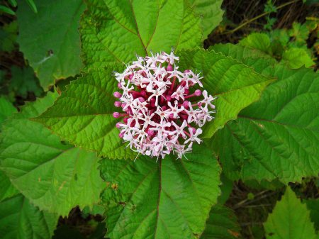 Clerodendron flower, Tostat, July 2015