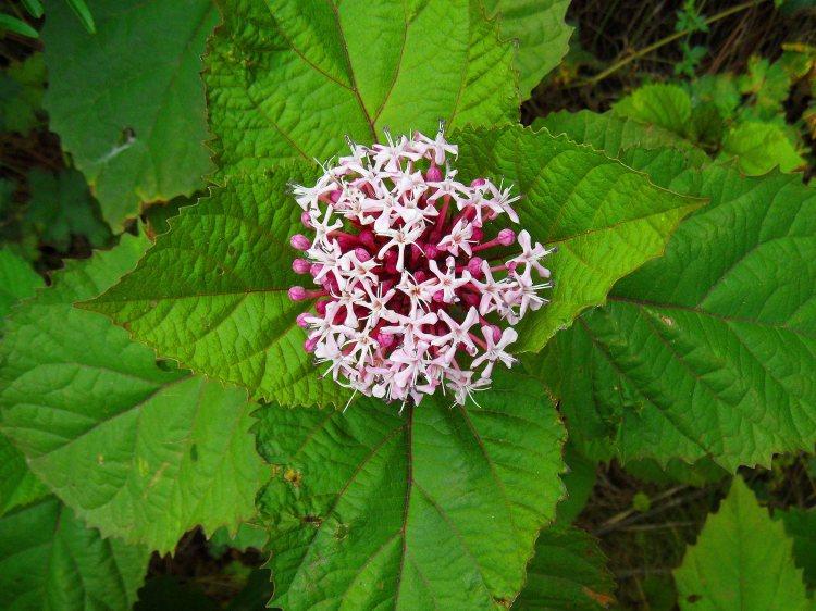 Clerodendron flower, Tostat, July 2015