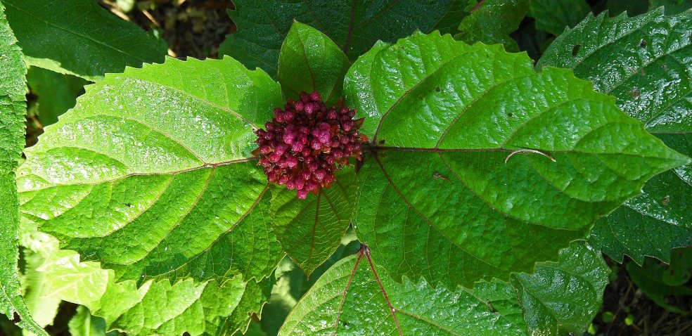 Clerodendron bud, Tostat, July 2015