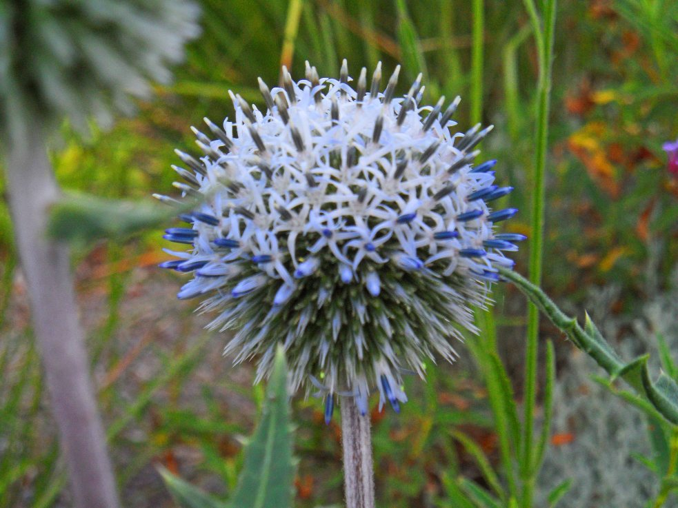 Echinops sphaerocephalus 'Arctic Glow', Tostat, July 2015.  Filling with colour like a cartoon plant...
