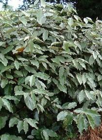 Elaeagnus x ebbingei, credit: www.hedging.co.uk