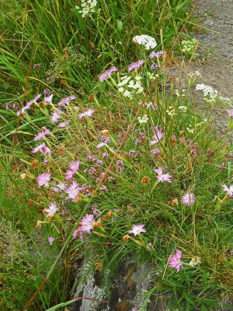 Dianthus plumarius, GR10 Germ, July 2015