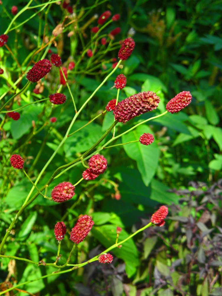 Sanguisorba officinalis 'Cangshan Cranberry', Tostat, July 2015