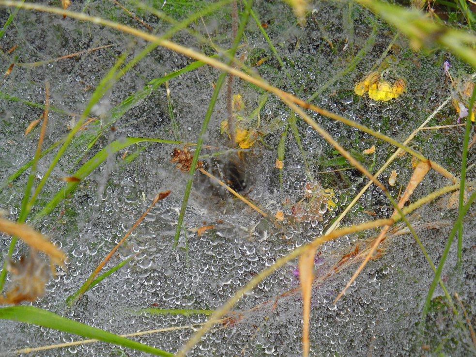 Funnel spider in web, GR10 Germ, July 2015