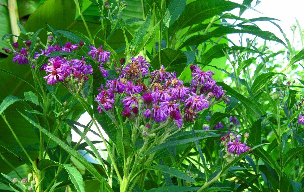 Vernonia crinita 'Mammuth', Tostat, July 2015