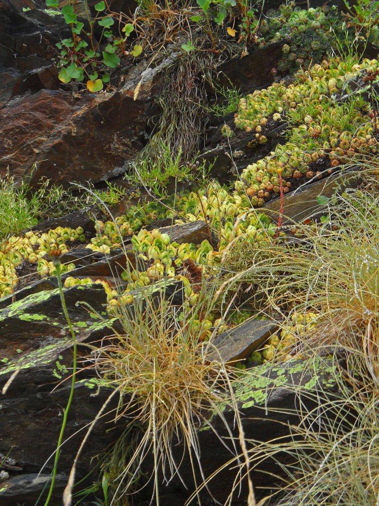 Sempervivum montanum, GR10 Germ, July 2015