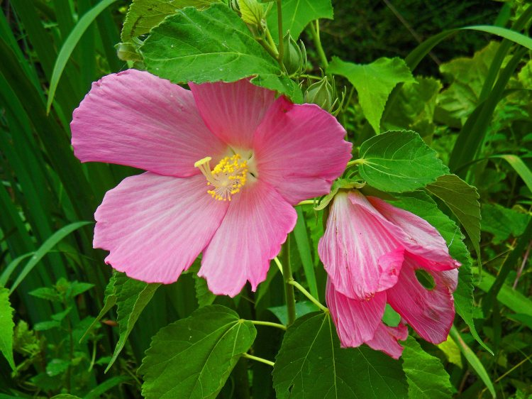 Hibiscus palustris, Tostat, August 2015
