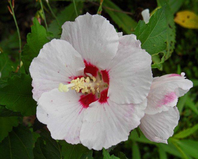 Hibiscus trionum, Tostat, August 2015