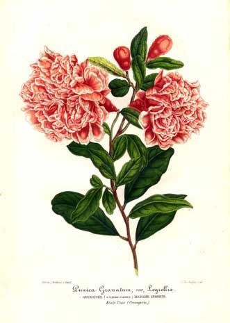 Punica granantum 'Madame Legrelliae' 1858  credit: www.anarkalilove.tumblr.com/