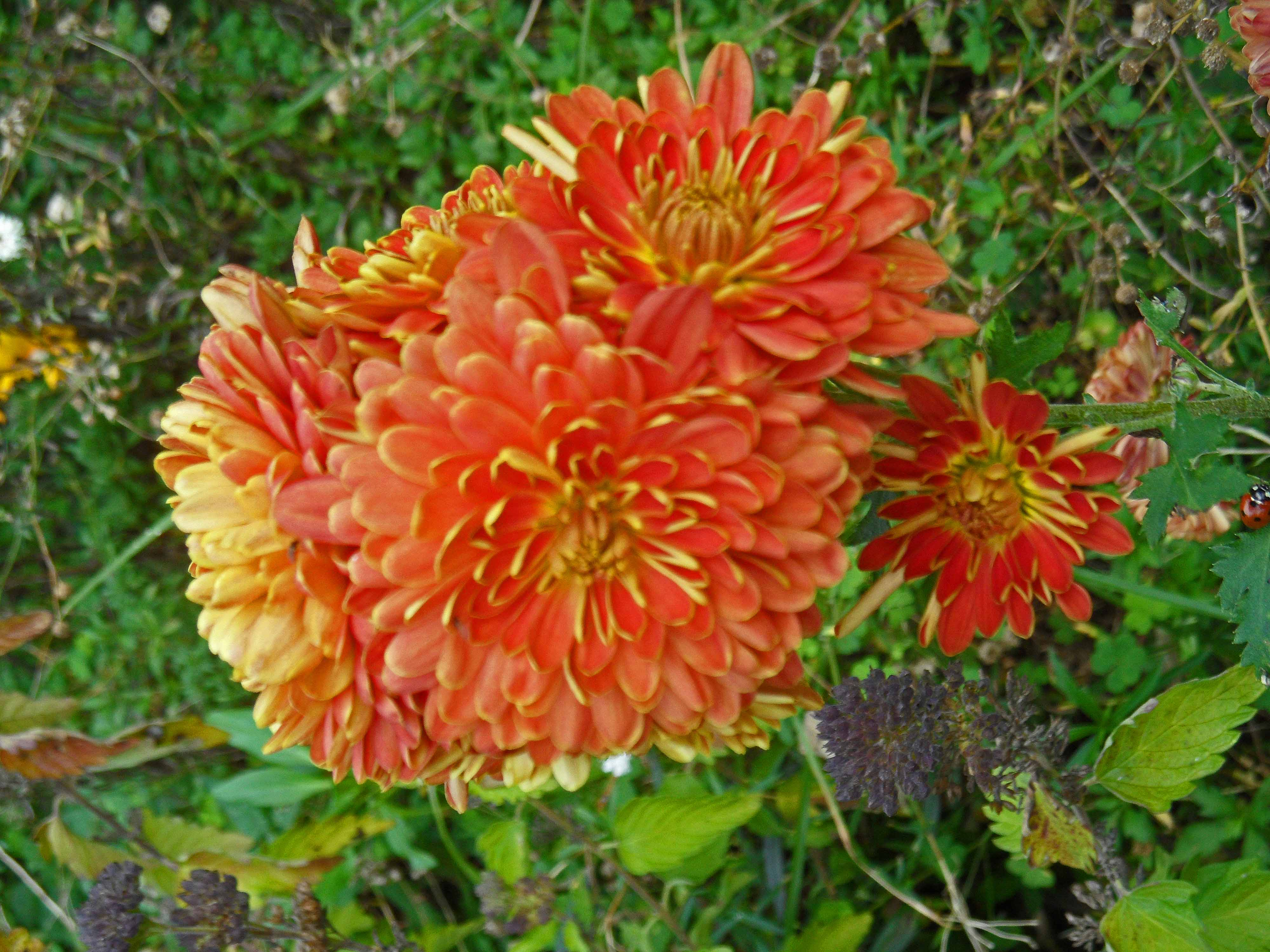 Chrysanthemum Chelsea Physic Garden 1115