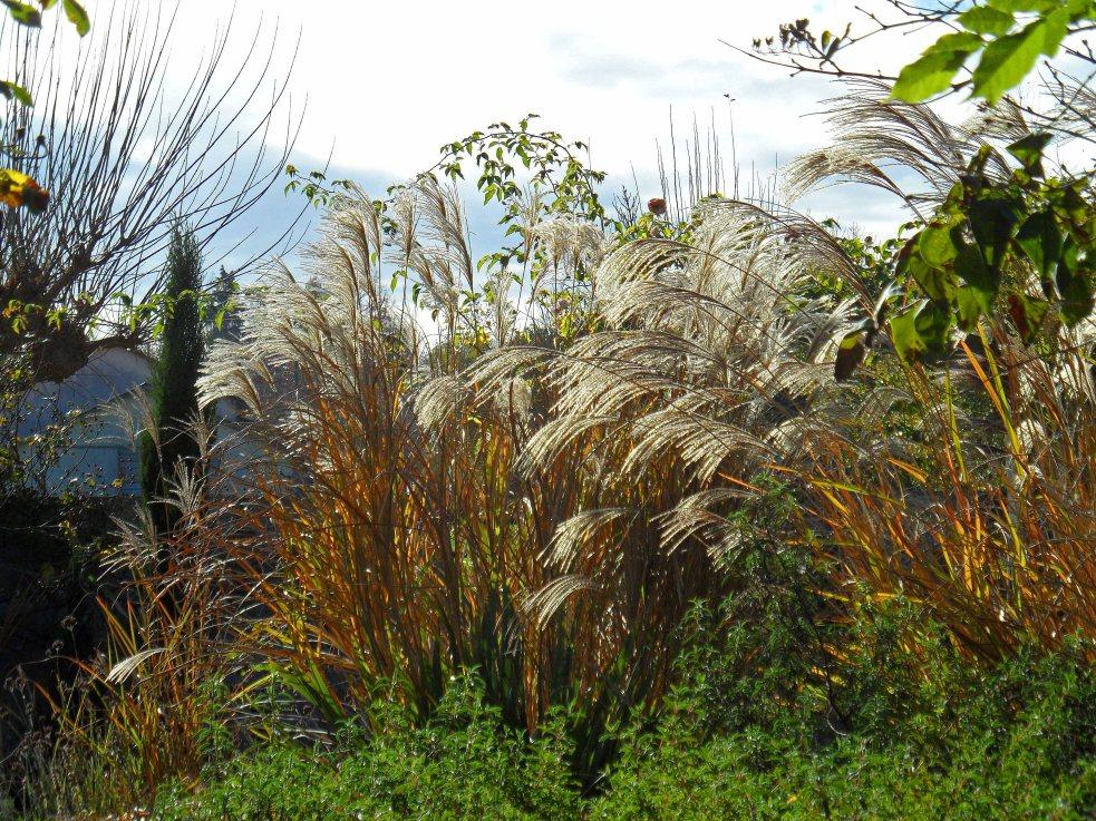 November grasses 1115