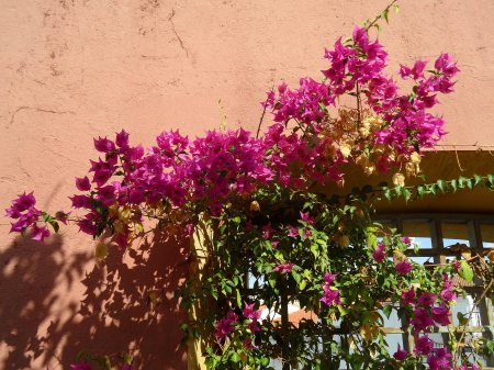Bougainvillea Merida 1015