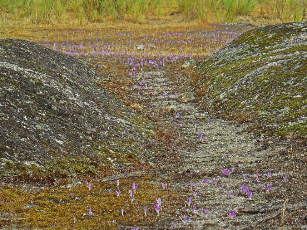 Colchicum carpet Extremadura 1015