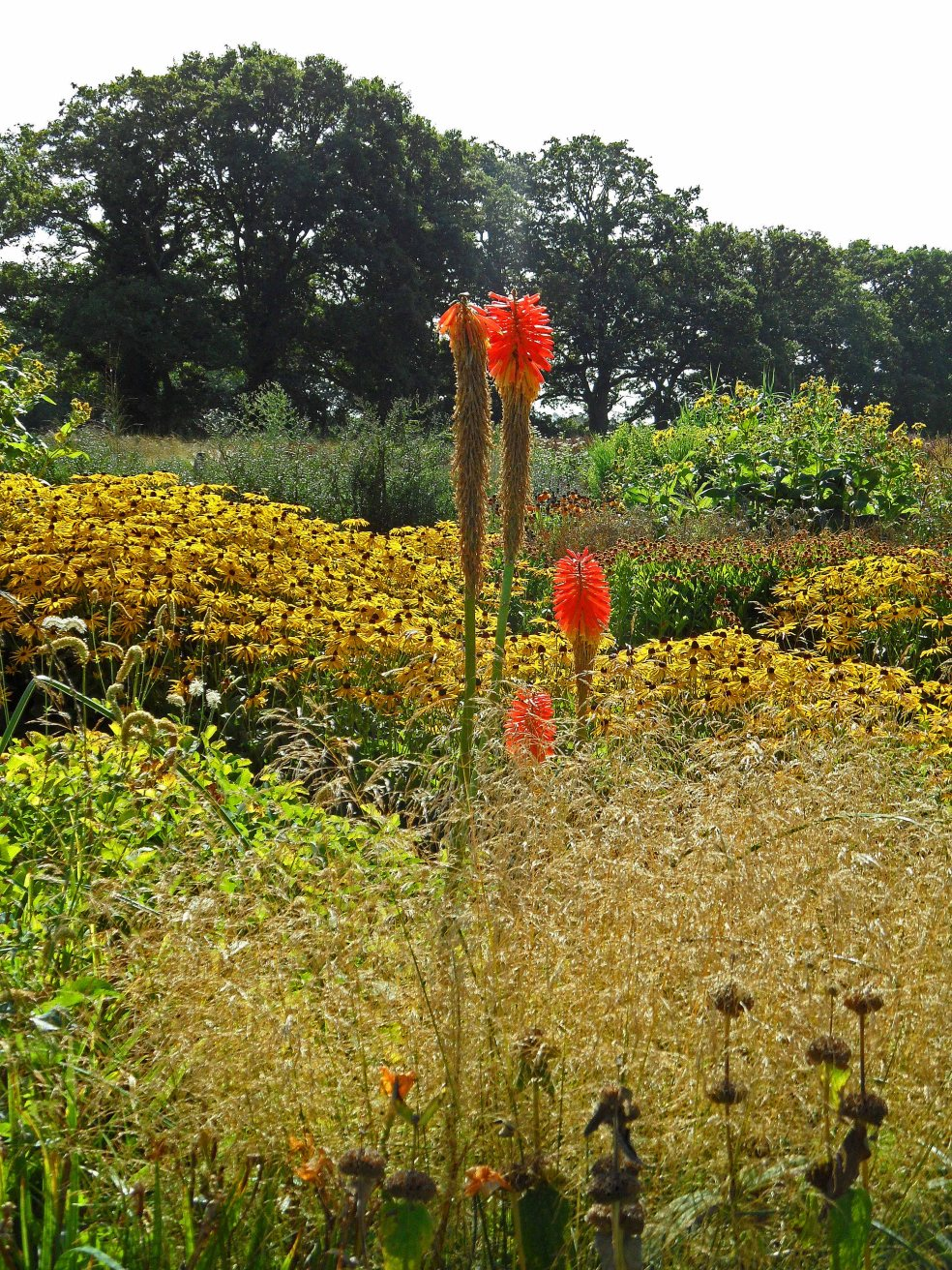 Kniphofia uvaria punching through Deschampsia and Rudbeckia Goldsturm