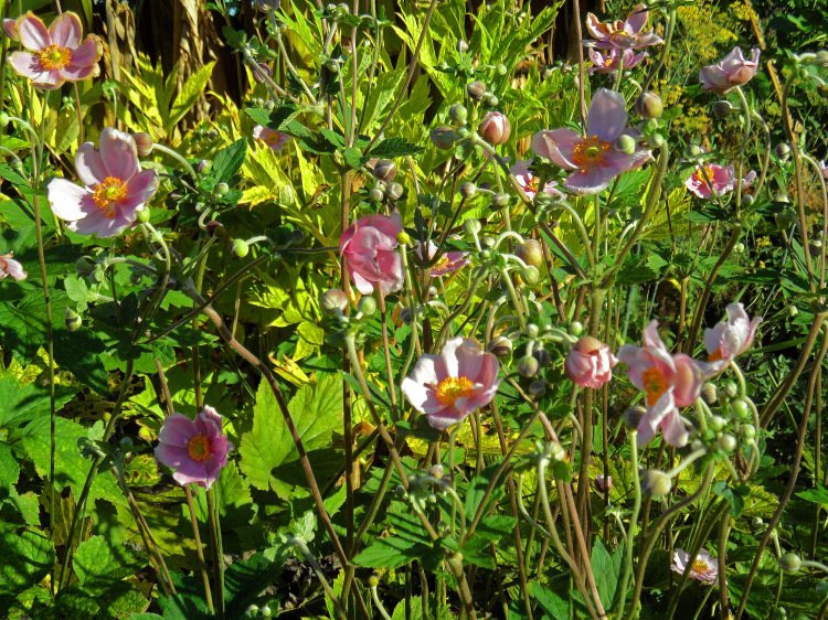Anemone hupehensis var japonica 2 815