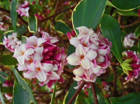 Daphne odora aureomarginata 2 0116