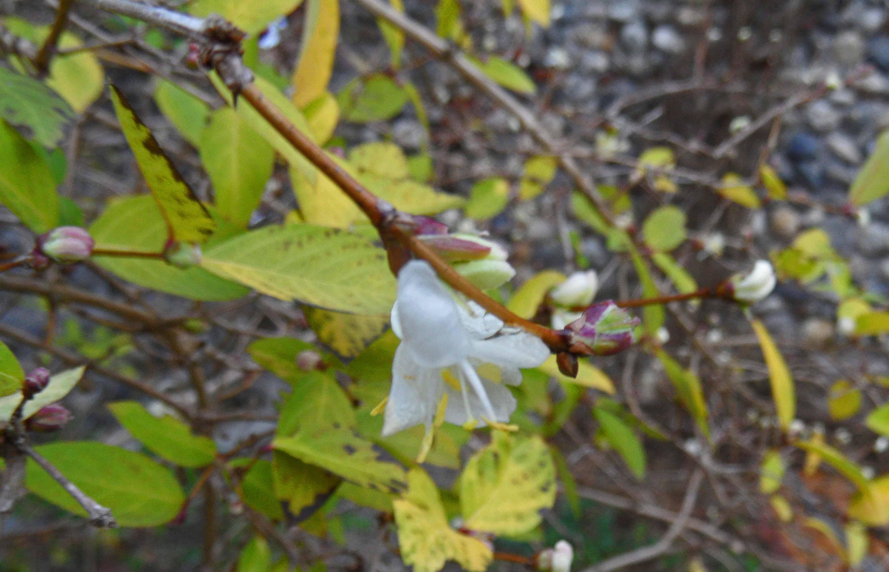 Lonicera fragrantissima 0116