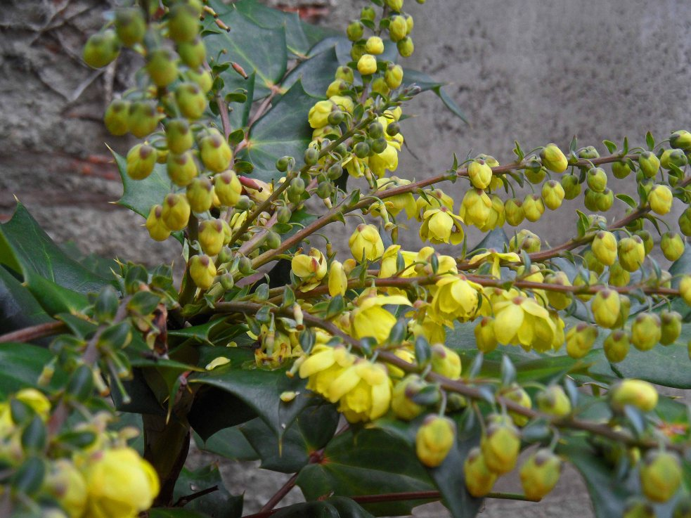 Mahonia Winter Sun 0116