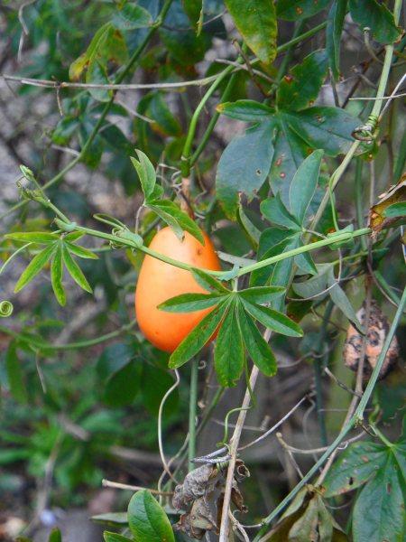 Passiflora fruit 0116