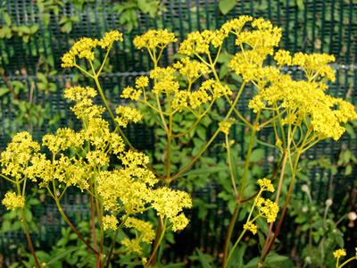 patrinia_scabiosifolia special plants