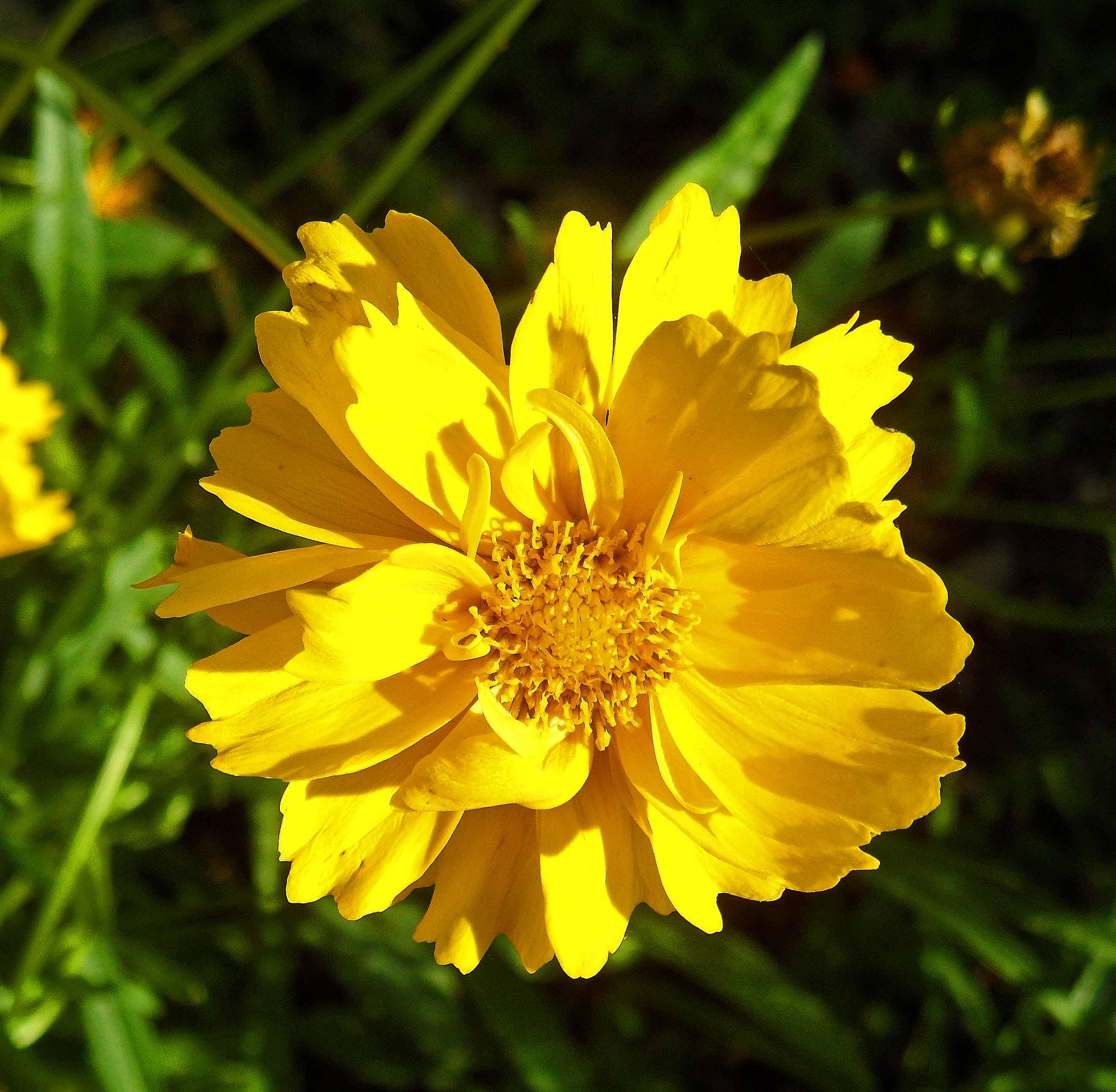 Coreopsis grandiflora 615