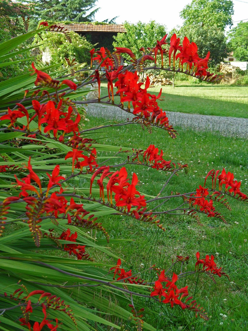 Crocosmia Lucifer 3 615