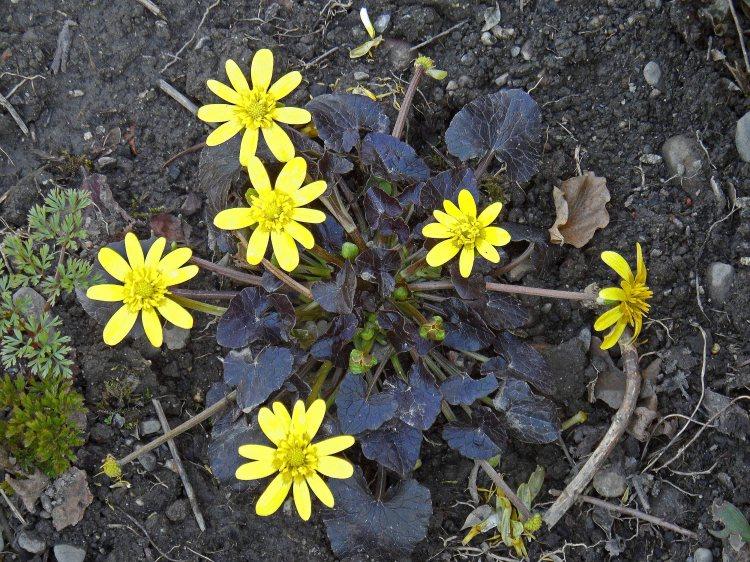 Ranunculus ficaria Brazen Hussy Mar 15  2