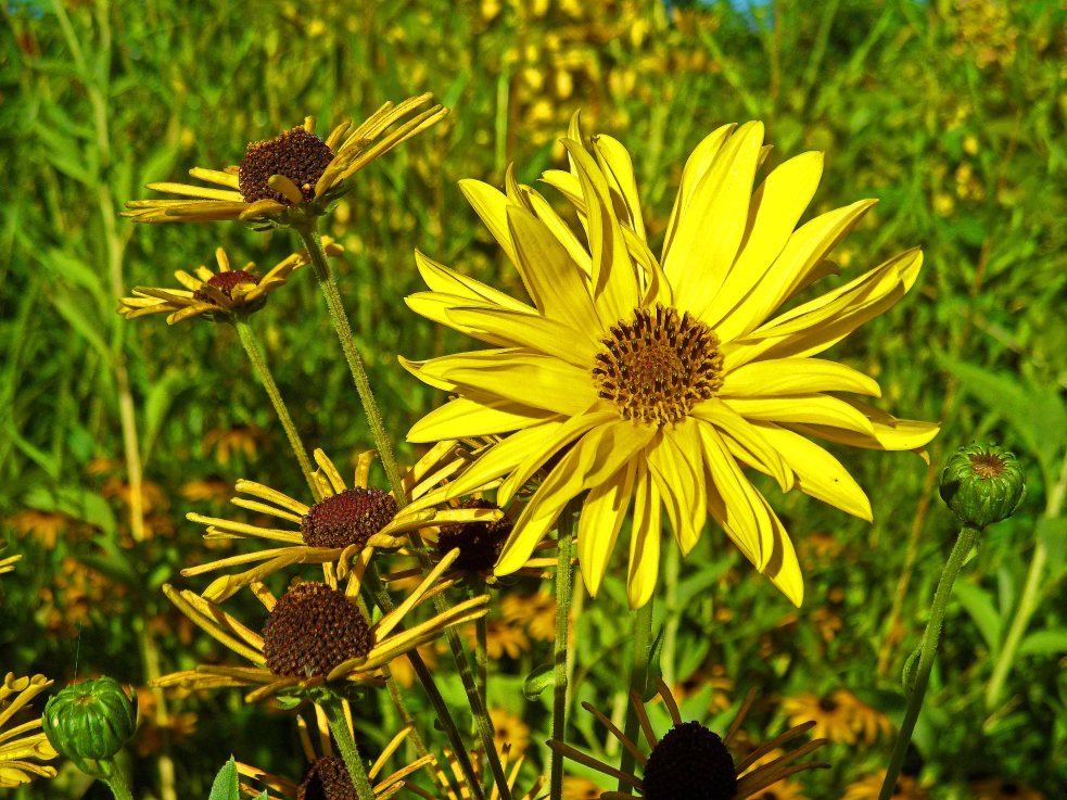 Rudbeckia Henryk Eilers and Helianthus 815