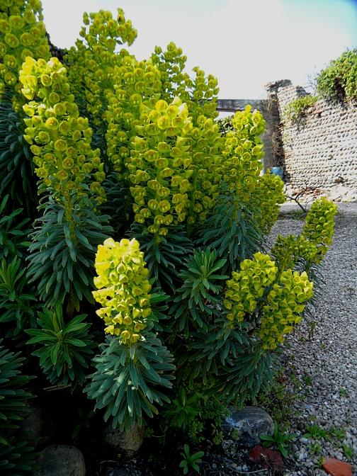 Euphorbia 2 316