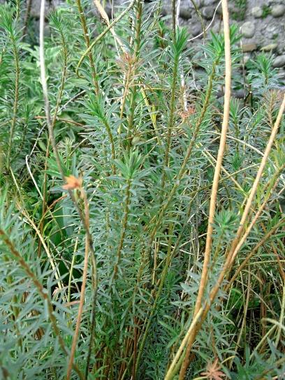 Euphorbia segueriana 316