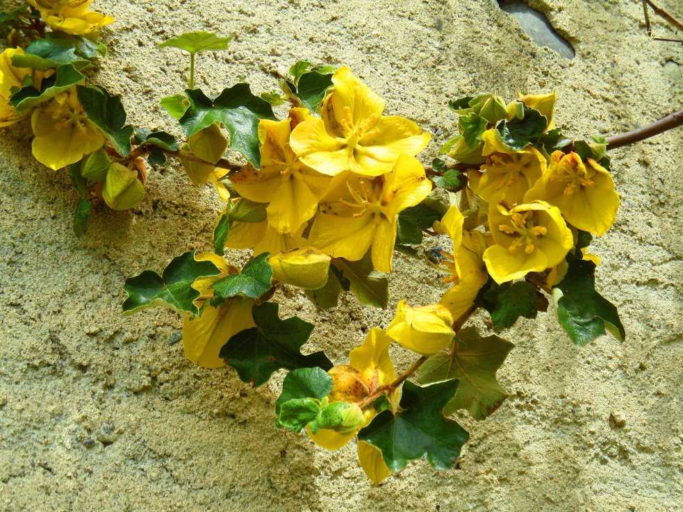 Fremontodendron californicum May 2015
