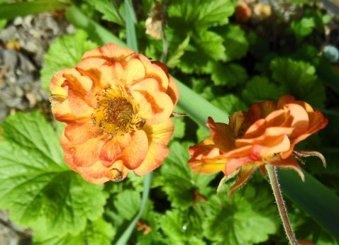 Geum 'Alabama Slammer', Tostat, May 2015