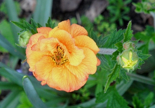 Geum 'Totally Tangerine', Tostat, April 2016