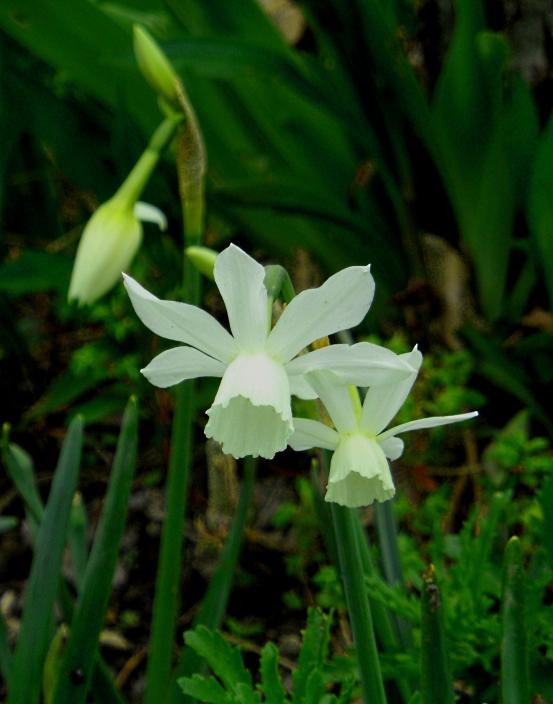 Narcissus Thalia 3 416