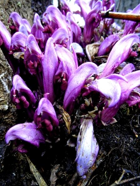 Purple toothwort 3 416