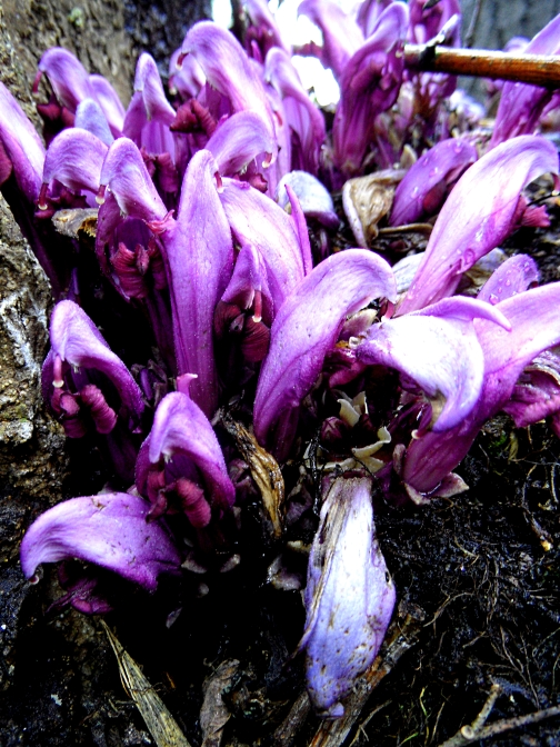 Purple toothwort 3 416