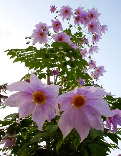 Tree_dahlia_looking_down