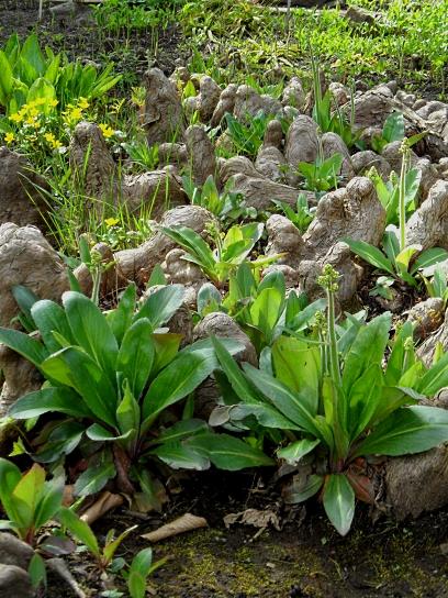Knees Taxodium distichum 416