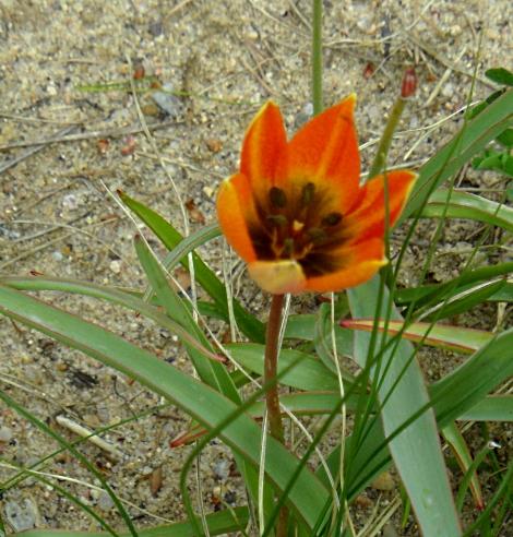 Tulipa biflora 416