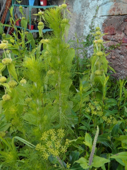 Eupatorium capillifolium Elegant Plume 616