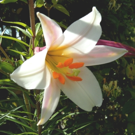 Lilium regale 616